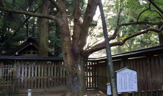 招霊の木 天岩戸神社